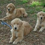 Our Trained Golden Puppies